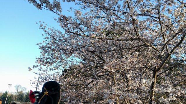 トロントのHigh Parkで桜のお花見ピクニックの画像です