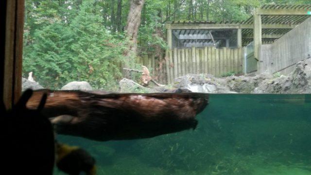 ビーバーは泳いでる姿もバッチシ!
